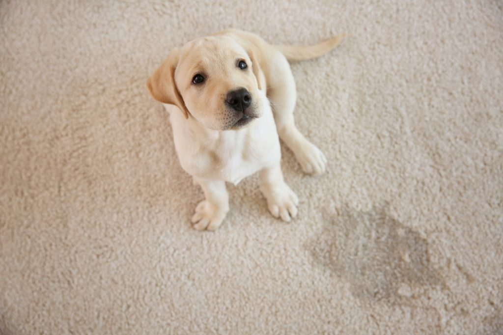remove pet stains from carpet