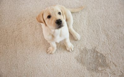 Living with Furry Friends: 4 Tips to Remove Pet Stains from Carpet